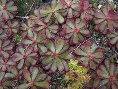 Drosera hamiltonii - RARELY AVAILABLE sundew from Australia!