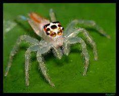 The Two-striped Telamonia spider. Said to be extremely poisonous and to have killed at least 4 people ij Florida. They say the best place to find them are cold, dark places, such as under TOILET SEATS. Nests were said to have been found in bathrooms of several planes that had visited India