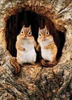 Curious chipmunks