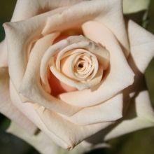 CA Rose, Sahara