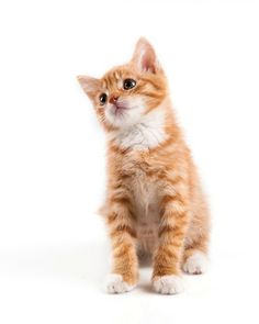 Portet van rode kitten, kat