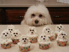 Bichon Frise cupcakes. Which part do you bite into first?  Found on the Russian site, nuobovsem.ru
