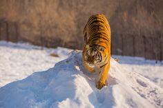 Northest Tiger 36