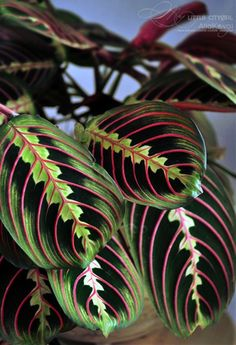 The Maranta's (Prayer Plant) leaves fold up at night hence the common name. When dusk falls, their handsomely marked leaves fold up to 'pray'. Report 10 Plants That Don't Need Sunlight To Grow Growing Ginger Indoors, Growing Plants, Plantas Indoor, Calathea Plant, Prayer Plant, Decoration Plante, Plant Diseases, Low Light Plants, Inside Plants