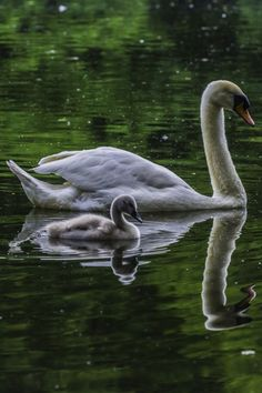 Superb Nature, swan and baby