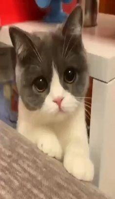 @blackwhite750 Cute Little Kittens, Kittens Cutest, Cute Puppies, Cute Dogs, Baby Animals, Cute Animals, Cute Pomeranian, Gato Gif, Beautiful Kittens