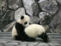 There is nothing cuter in life than baby pandas wrestling