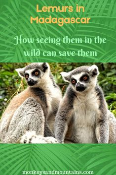 Only 103 species of Lemurs in total. There has been a decrease of since How save them? Many conservationists agree that ecotourism is the number one thing that can ensure the survival of lemurs in Madagascar. Madagascar Culture, Madagascar Travel, Lemurs, Primates, Endangered Species, Beach Trip, Monkeys, Where To Go, Globe
