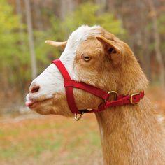 Deluxe Goat Halter