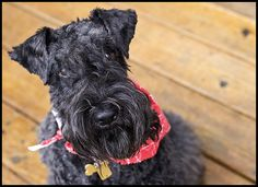 KERRY BLUE TERRIER- The source is not clear, enthusiastic but strong-willed, so training can be a challenge, thrive on human companion-ship, provided the owner is at least as strong-willed as the dog. -