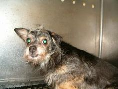 Granny is an adoptable Chihuahua Dog in Upper Sandusky, OH. This is granny, she is and older dog and a little shy but will make up with you. I do not have any other information or history for her....