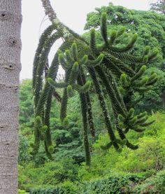 La branche de l'araucaria, parc de Dunvegan castle, île de Skye, Ross and Cromarty, Highland, Ecosse, Grande-Bretagne, Royaume-Uni. | par byb64