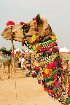 "Pushkar Camel Fair……""CAMILLE"" IS SUCH A FLIRT……..THESE BAUBLES WERE GIVEN TO HER FROM HER MANY SUITERS……….ccp"