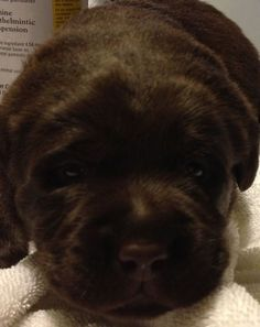 Chocolate Labrador Retriever puppies for sale NY