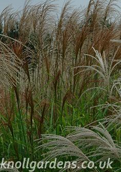 Miscanthus Rotsilber | Knoll Gardens | Ornamental Grasses and Flowering Perennials