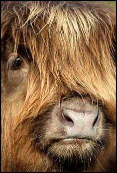 Photos de portrais sur l'élevage de vache Highland Cattle de la Basse du Las. Elevage de Patrice COMBEAU
