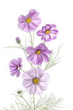 Cosmos by Mandy Disher - Photo 126959583 - Botanical Flowers, Botanical Illustration, Watercolor Illustration, Botanical Prints, Watercolor Flowers, Watercolor Paintings, Sunflowers And Daisies, Cosmos Flowers, Fruit Art