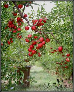 Apple orchard. When we first moved in we had two apple trees...I canned my own apple pie filling...remember the great apple peeler/corer?