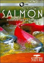 "Our once great runs of salmon are now conceived in laboratories, raised in tanks, driven in trucks, and farmed in pens...To watch PBS ""Salmon Running the Gauntlet"", click the pic"