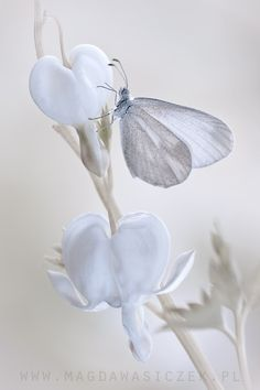 White with a ting of blue. butterfly on flower - bleeding heart - By Magda Wasiczek Papillon Butterfly, Butterfly Kisses, White Butterfly, Butterfly Flowers, Beautiful Butterflies, White Flowers, Beautiful Flowers, Beautiful Life, Flora Und Fauna