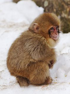 Snow Monkey, Japanese Macaque   Endangered Species Animal ...