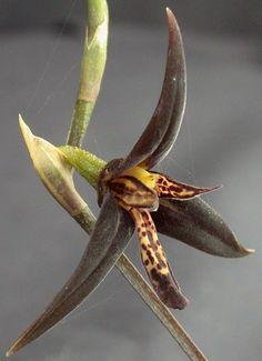 Kraenzlinella anfracta