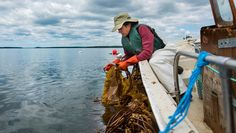 """Lobsters, blueberries and potatoes are three of Maine's iconic foods. Seaweed could one day be another, says Sarah Redmond. """"Maine has this potential to be this seaweed leader [and] be known as the seaweed state,"""" says Redmond, a seaweed farmer. Redmond and University of Maine marine science professor Susan Brawley are working to make that …"""