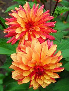 Metropolitan Gardens: Gardening in Cascadia: Volunteer Park Dahlia Garden