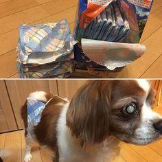 昨日がから飲み始めた利尿作用のあるお薬、、 飲んでから3時間くらいは垂れ流し状態になってしまうので昨日は急遽手縫いでオムツづくり💦 今日はオムツ買ってきたから安心!!と思ってたのに 2センチ短いんじゃーー!! 結局ゴムを縫い付ける作業😭気が遠くなるー!! まいくのためならえんやこら💪🏻💪🏻💪🏻 オムツスタイルが何とも可愛いまいく💕💕💕 #愛犬#キャバリア#3時間だけ#オムツタイム #オムツ#あと2センチ長く#作ってください