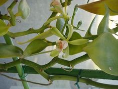 Vanilla albida Blume