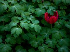 Tulip and Geraniums by National Geographic