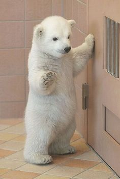 Baby polar bear..he's too cute not to repin!!