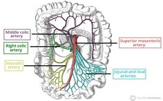 superior mesenteric artery (L1) NOTE: inferior pancreaticoduodenal artery
