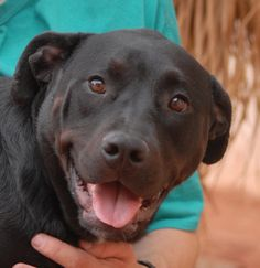 Cammie is a wonderfully kind and well-behaved girl who loves dogs, cats, and older kids.  Toys don't interest her much, but going to the park with you is heaven.  Cammie is 2 years young, medium-size, a Heinz 57 perhaps with Labrador, Rottie, and Bully, spayed, and debuting for adoption today at Nevada SPCA (www.nevadaspca.org).  Cammie is shy with strangers, but quickly warms up and brightens.  Gentle home ideal.  She needed us when her previous owners said they had to move to an apartment.