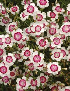 Much of the Dianthus genus has high salt tolerance making it ideal for gardens regularly exposed to road salt.