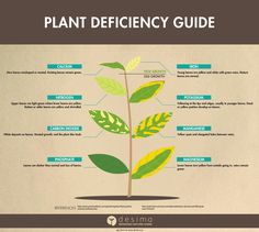 Not all plant problems are caused by insects or diseases. Sometimes an unhealthy plant is suffering from a nutrient deficiency or even too much of any one nutrient. Plant nutrient deficiencies often manifest as foliage discoloration or distortion. The following chart outlines some possible p