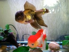fish tank, black and red oranda goldfish
