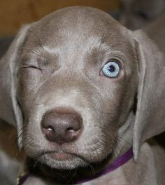 Very interesting post: Weimaraner Puppies - 37 Pictures. Also dompiсt.сom lot of interesting things on Funny Dog. Puppy Beds, Baby Puppies, Cute Puppies, Cute Dogs, Dogs And Puppies, Doggies, Blue Weimaraner, Weimaraner Puppies, Weimaraner Funny