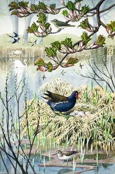Moorhen builds her nest. C. F. Tunnicliffe