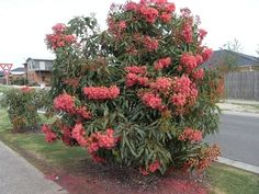 Eucalyptus Summer Red GRAFTED flowering gum (and not 'Euky Dwarf') - not suitable for windy sites Australian Native Garden, Cream Flowers, Small Trees, Native Plants, Tree Art, Shrubs, Outdoor Gardens, Home And Garden, Backyard