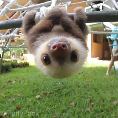 This Baby Sloth Will Remind You To Never Give Up - Cute sloth Baby Animals Pictures, Cute Animal Pictures, Animals And Pets, Zoo Animals, Funny Sloth Pictures, Animals Kissing, Smiling Animals, Cute Puppies, Cute Dogs