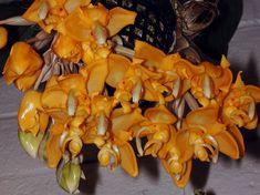 Stanhopea bolivarensis