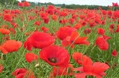 Red Flanders Poppies - 100,000 Seeds Red Flanders Poppies