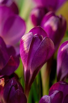 Crocus 'Ruby Giant' by Clive Nichols http://www.dejager.co.uk/_-Tommasinianus-Ruby-Giant-_/product/?pid=25502