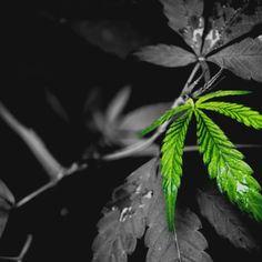 Hemp CBD Template - 1 - hemp #hemp #hempoil #hempcbd #cannabis #cannabisoil