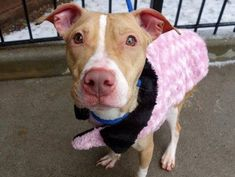 URGENT - Manhattan Center    LISA - A0989144   FEMALE, TAN / WHITE, PIT BULL MIX, 1 yr  STRAY - STRAY WAIT, NO HOLD  Reason STRAY   Intake condition NONE Intake Date 01/09/2014, From NY 11208, DueOut Date 01/12/2014 Original thread: https://www.facebook.com/photo.php?fbid=739364779409737&set=a.617938651552351.1073741868.152876678058553&type=3&permPage=1  ------EMACIATED, VERY FRIENDLY------