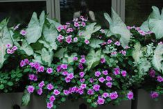 The caladiums produce lots of leaves, but the impatiens have found a way to work theimselves to the forefront.  They coexist-peaceably.