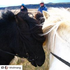 Har du prøvd å ri på islandshest. Gøy! #reiseblogger #reiseliv #reisetips #reiseråd  #Repost @kholmang (@get_repost)  One of the best ways to see Iceland is from the back of an Icelandic horse! They look cute but are some of the toughest horses you can find. They're also the only breed of horses allowed in Iceland and exported horses can never return. I actually owned an Icelandic horse for five years in Norway and if I ever decide to give up traveling I'll probably buy a horse again…