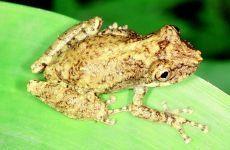 PERERECA-DE-BROMÉLIA Scinax perpusillus Instituto Rã-bugio para Conservação da Biodiversidade