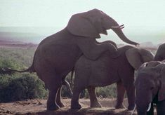 Addo Elephant Park, Südafrika: Elefantenhochzeit